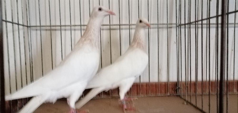 golębie perłowe złote biały ogon Elbląg - image 1