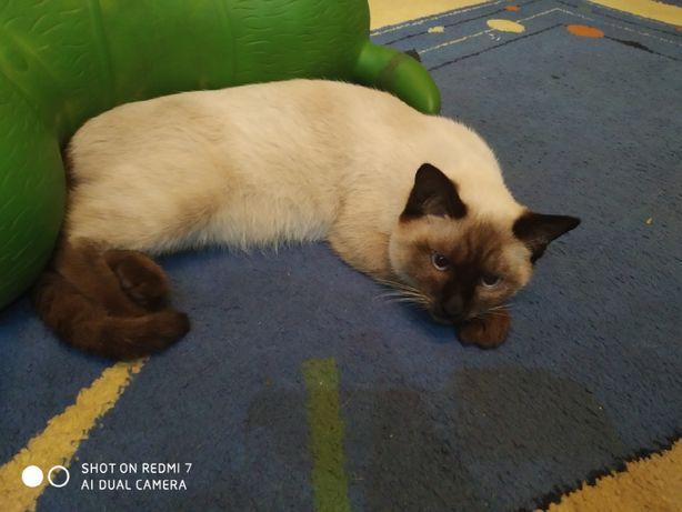 Сиамская кошка ищет опытного жениха
