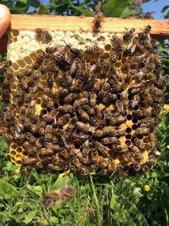 Matki pszczele nieunasienione , unasienione na pasieczysku czerwiące.