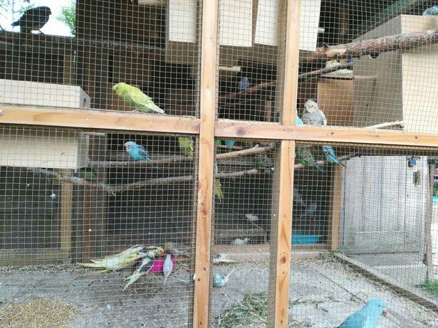Papugi mlode nimfy