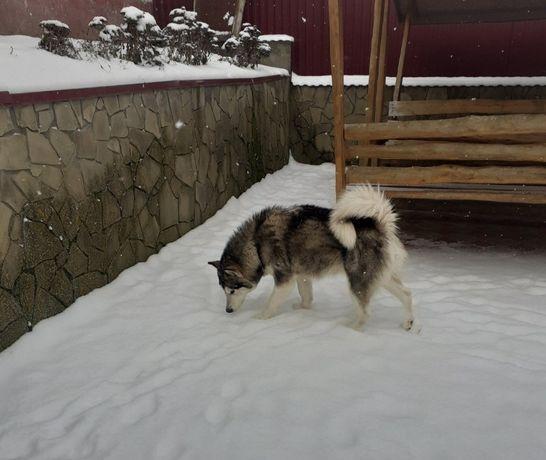 Аляскинський Маламут Дівчинка.