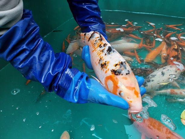 Karp koi, złota orfa, ryby ozdobne do oczka wodnego hurt i detal