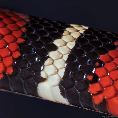 Синалойские молочные змеи. Неядовитая красочная рептилия