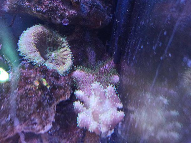 Sarcophyton akwarium morskie