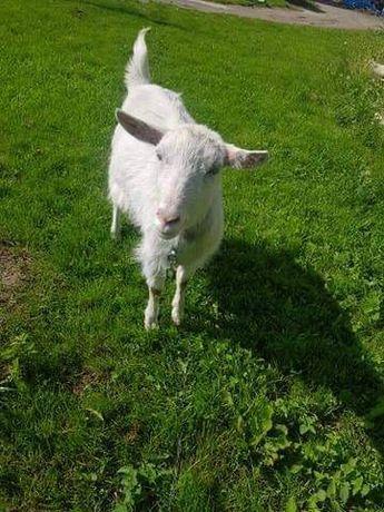 Sprzedam roczną koze