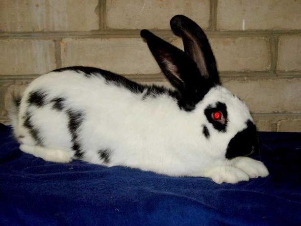 Кролики.Взрослые самцы кроликов