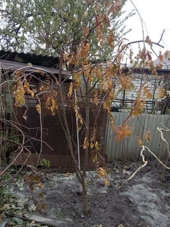 Плакучая Рябина Sorbus aucuparia Pendula