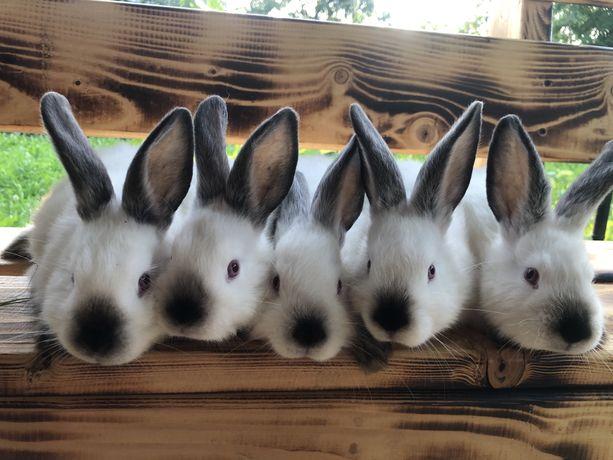Кролики Каліфорнійці