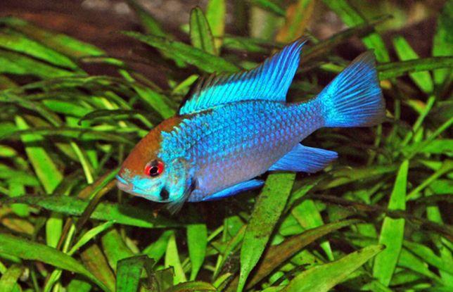 Ramireza electric blue