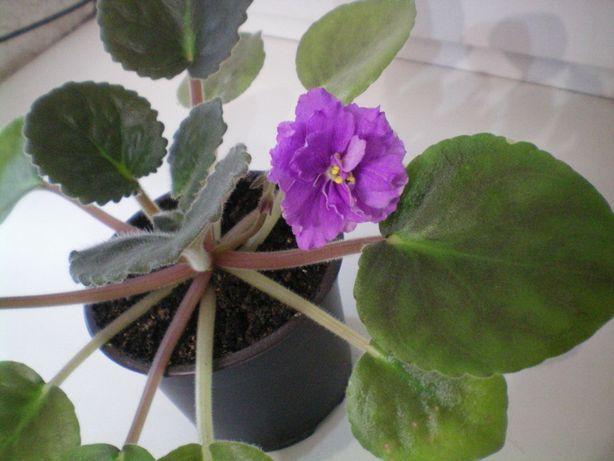 Фиалка сенполия фиолетовая махровая цветущая