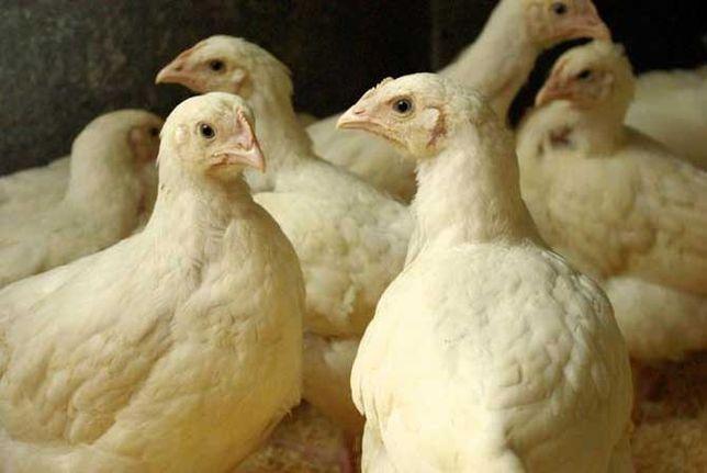 Курчата, ціплята, бройлер (добові та підрощені)