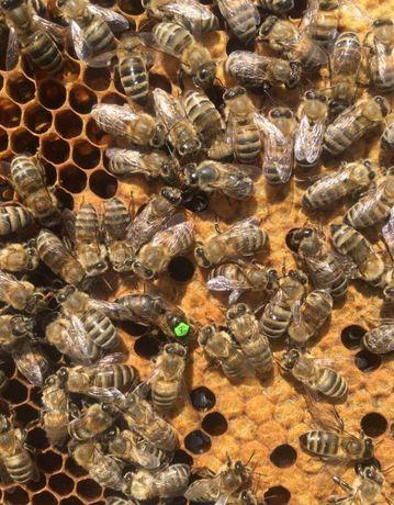 Продаю Карпатская пчела Меченые Пчеломатки Плодні та Не плодні