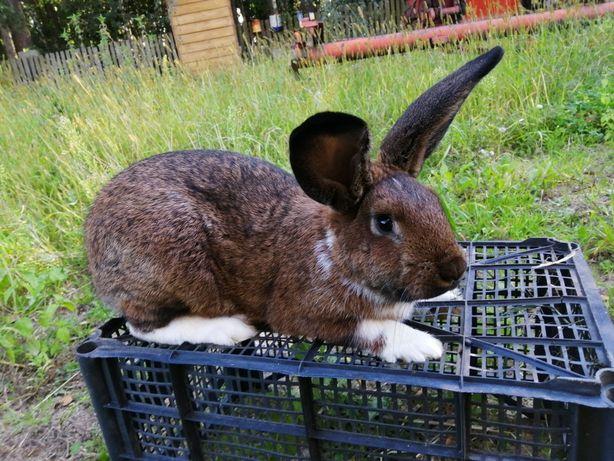 Sprzedam króliki mieszańce, 3-4 kg. króle samiec, samica.