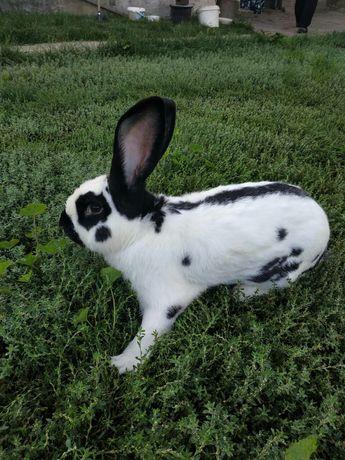 Продаю породистых кроликов!!!