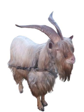 продається козел ЗААНЕНСЬКОЇ породи 1,5 року