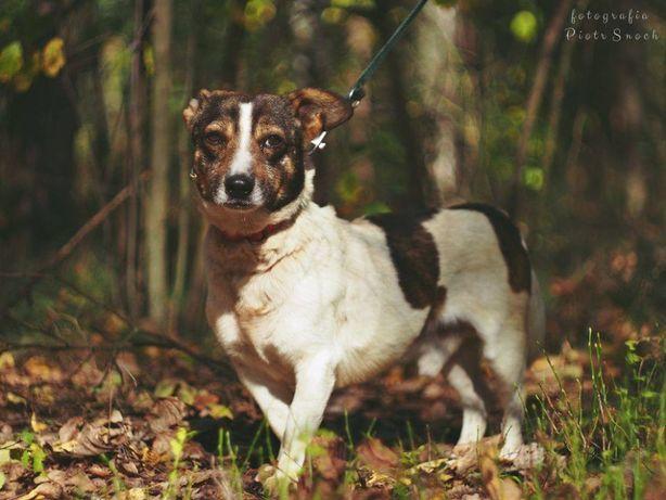Mały nieduży spokojny pies przypomina jack russell terrier a