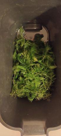 Oddam rośliny akwariowe