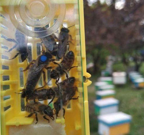 F1. В сезоне 2021г. Пчелиные матки. Troiseck Винтерсбах.