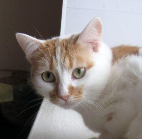 отдам белорыжую кошку, 1,5 года, стерилизована