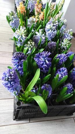 Гиацинты,тюльпаны