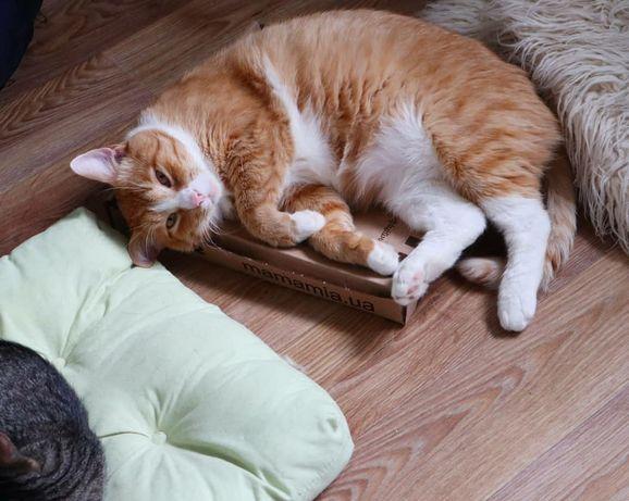 Рыжий кот с белым воротником