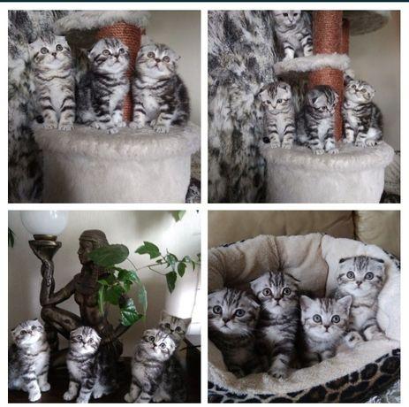 Скоттиш фоллд и страйт мраморные котята
