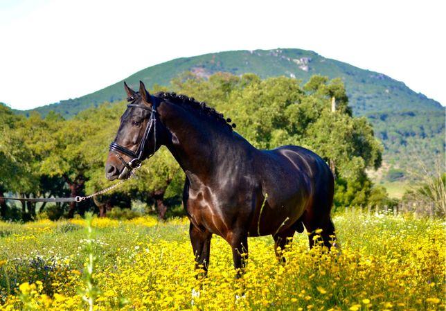Cavalo Lusitano 6 anos