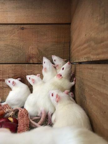 Крысы кормовые