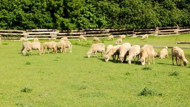 Овечки, бараны, овцы