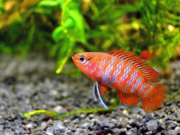 BADIS BENGALSKI - Dario dario ryby akwariowe
