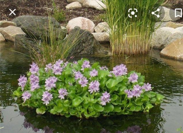 Гіацинт, різні рослини для озерця