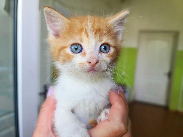 Котенок Сникерс 1,5 мес. У котика бело-рыжий окрас и голубые глазки