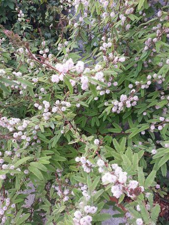 Sementes de sensitiva,  dormideira, dorme-dorme, Mimosa púdica, planta