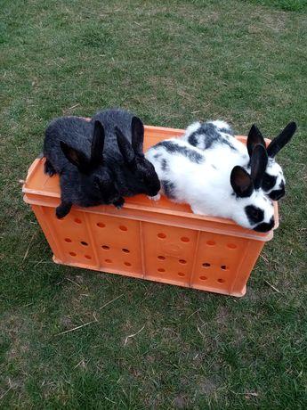 Króliki królik samice