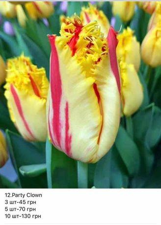 Тюльпан, цибулина, продам цибулю тюльпану  Нідерланди.