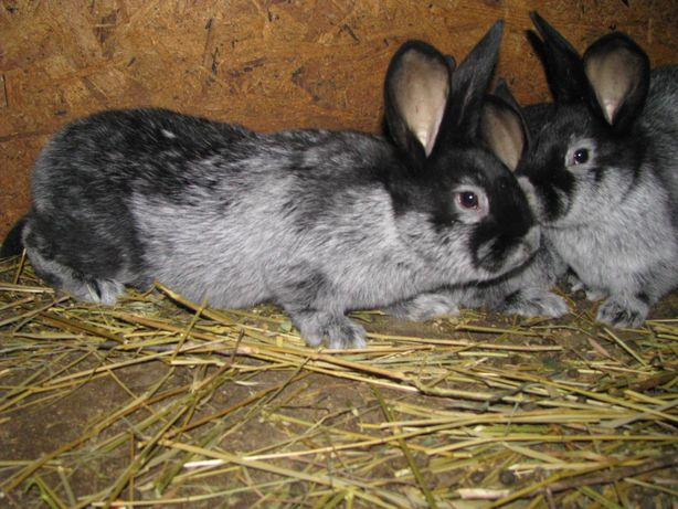 Кролики БСС, ЕС (Большое светлое серебро, Европейское серебро).