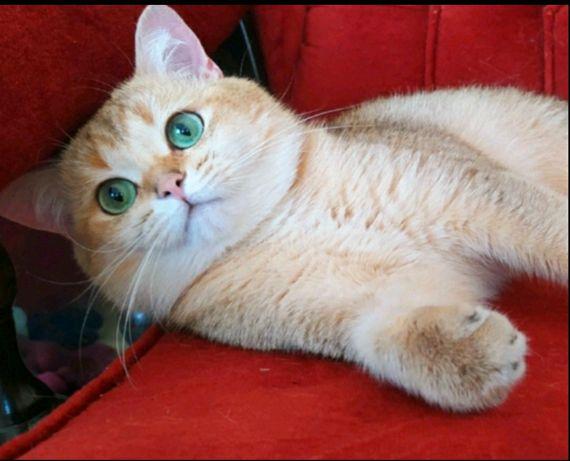 Золотой котик ny11 вязка