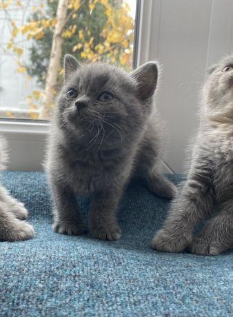 Котенок британский скоттиш-страйт