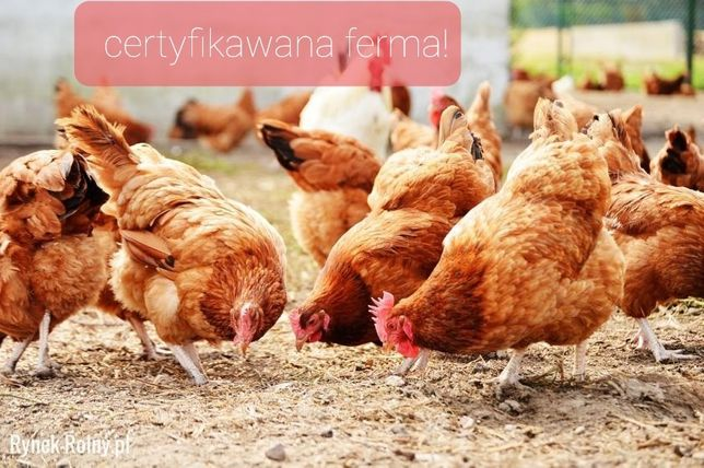Kokoszki kolorowe Kaczki Mięsne Gęsi Perliczki Brojlery ferma Certyfik
