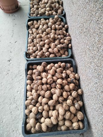 Orzech włoskie świeże ładne 4zł /kg