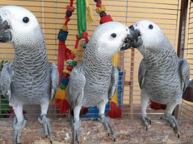 """Papagaio cinzento / do Congo """" psittacus erithacus"""""""