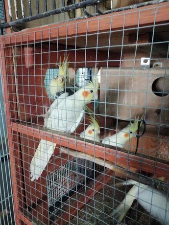 Sprzedam papuga nimfa