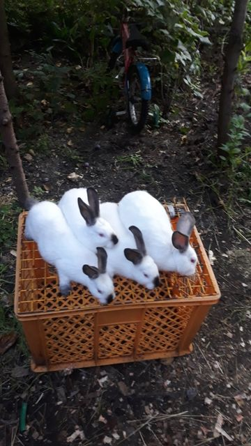 Ostatnie sztuki królików na sprzedaż