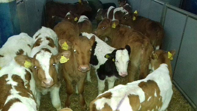 Byczki, Jałówki, Cielaki, MM, HF, MS, NCB, RW mleczne od Importera
