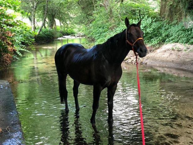 Cavalo de corrida(puro sangue-ingles)