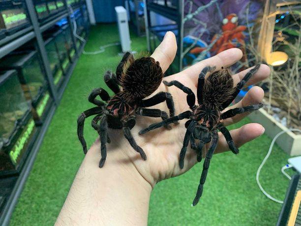 Xenesthis immanis самки паука птицееда 5 см по телу