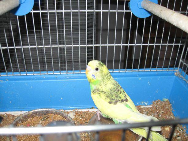 Papuga falista z lęgów tegorocznych