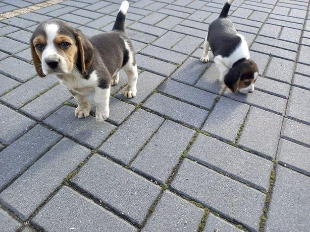 Beagle tricolor pieski