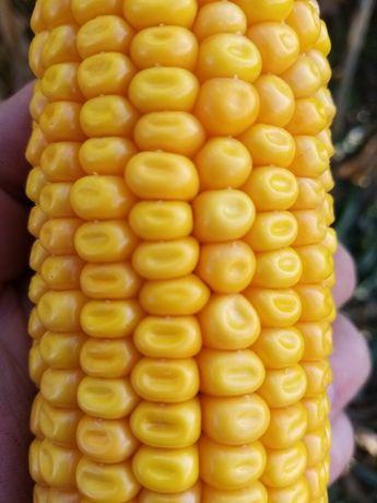 Kukurydza sucha 2020