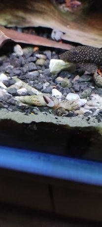 Ślimaki świderki